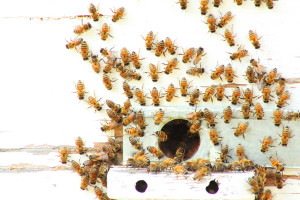 Bees at Hive (Shutterstock)