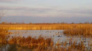 Ducks on Backwaters, Saginaw Bay, Michigan (Photo Kim Chapman)