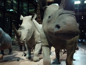Black and White Rhinos at the National Natural History Museum, Paris (Photo K. Chapman)