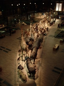 African megafauna, several on the path to extinction in the wild, walk the grand hall at the National Museum of Natural History, Paris (Photo K. Chapman)