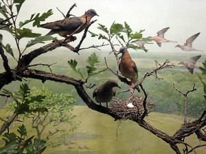 Stuffed passenger pigeons nest in a wax bur oak in a diorama at the Bell Natural History Museum, Minneapolis.  The nest and egg are said to be the last ones found in the wild.  (Photo R. Chin)