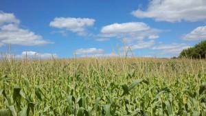 Corn to the horizon in Spring Lake Twp., Minnesota--as across the Corn Belt of the Midwest (Photo Kim Chapman)