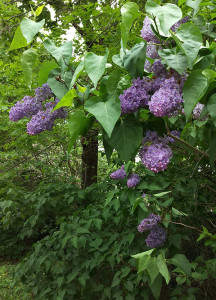 Lilac (Syringa vulgaris) in full bloom.  When buds are tightly closed, they are dark purple; when flowers open, they are light purple.  The first warbler wave happens when buds are mostly closed.