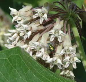 Blowfly on Milkweed (Photo Jim Armstrong)