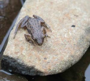 Boreal chorus frog between bursts of song at Lake Superior, Split Rock MN (Photo P Armstrong)