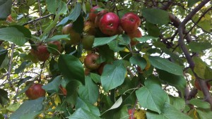 A squirrel-fest of apples on the apple tree.