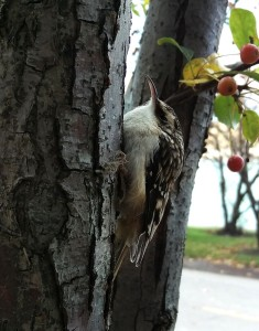 Brown creeper resting near Lake Michigan after some unsettling events, Nov. 7 2015.  Photo Kim Chapman.