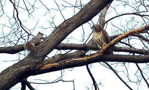 Gray Squirrel meets Red-tailed Hawk in a treetop stare-down. Photo by Bob Arihood 2006.