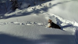 Maddy the dog stands in tracks made by one of two wolves the night before. She is alert--good dog!  Photo K. Chapman