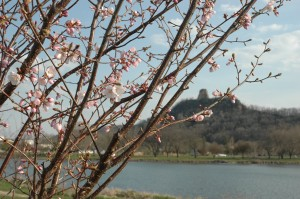 A Japanese cherry tree demonstrating life's fleeting nature beside Lake Winona.  J. Armstrong