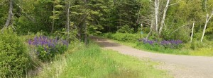 Like entry monuments, these two patches of large-leaved lupine announce that a northwoods cabin is nearby.  Photo K. Chapman