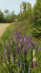 Large-leaved lupine stands at attention by a road in northern Minnesota.  The multi-colored flowers suggest George Russell's hybrid, for which the Royal Horticultural Society awarded him the Veitch Memorial Medal.  He disliked the original blue of the natural form, to which, sadly for horticulturalists, the hybrid reverts after a couple generations.  Photo K. Chapman