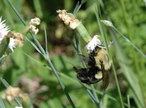 This very Bombus impatiens, gathering nectar from Jim's garden in Winona, is now immortalized in picture and word.  Photo by J. Armstrong
