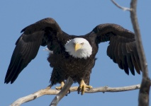 This bald eagle has something in mind--fly, chase, threaten?  Whatever it is, he's ready!  Photo USFWS Mountain-Prairie