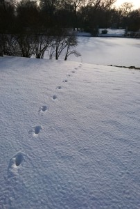 Coyote making tracks and a beeline to its destination.  Photo Kim Chapman