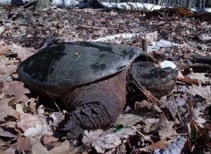 A snapping turtle in Port Austin, Michigan, just out of the water--notice the wet shell.  Heading to a nesting spot?  Photo Kim Chapman